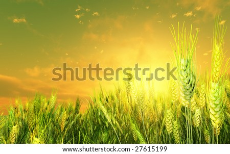 Beautiful wheat field in the sunset - stock photo