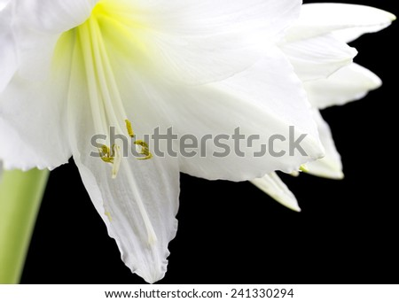 Beautiful white amaryllis flower bloom on black background.