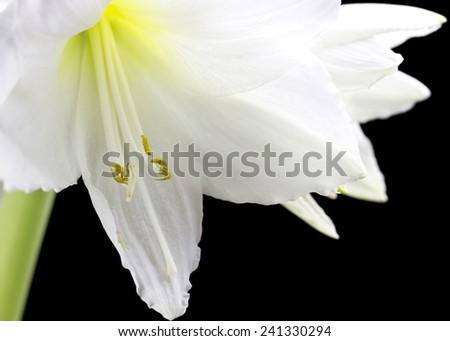 Beautiful white amaryllis flower bloom on black background. - stock photo