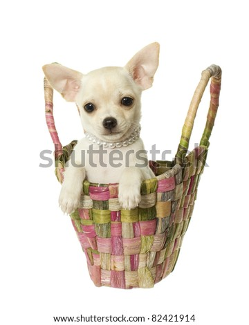 Beautiful white and beige long hair chihuahua puppy wearing pearls sitting inside of a tropical, banana leaf, woven pastel colored,  handbag, isolated on white.