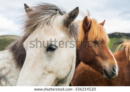 Beautiful white and brown icelandic horses in nature. Southern Iceland. - stock photo