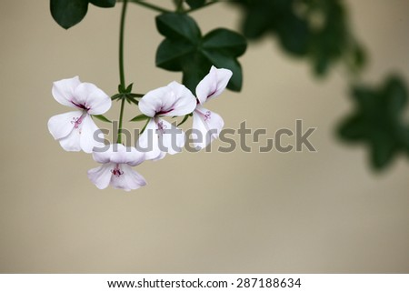 Beautiful white and purple Geranium flowers - stock photo
