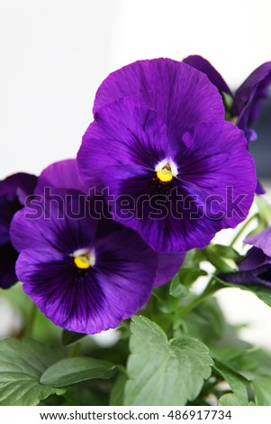 Beautiful white and purple pansy flowers surrounded by leaves with raindrops on petals