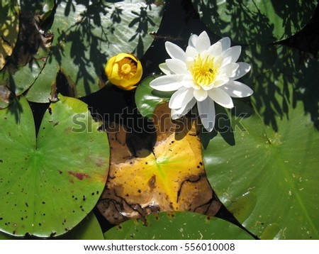 Beautiful white and yellow lily pad.
