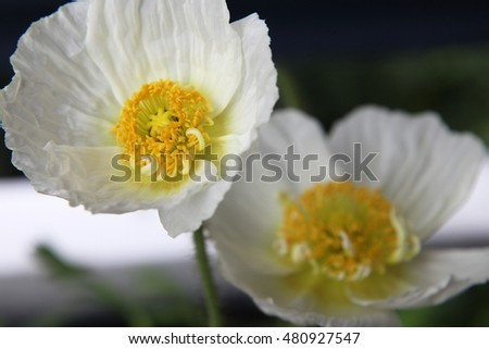 Beautiful white and yellow poppy flowers