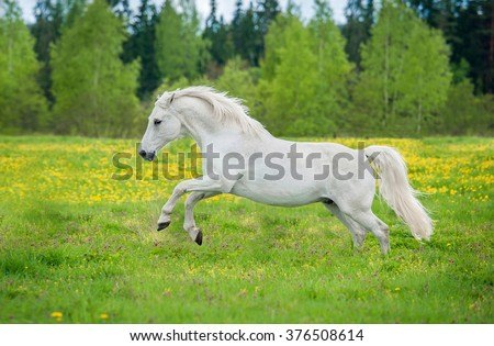 Beautiful white andalusian horse running on the field with dandelions - stock photo