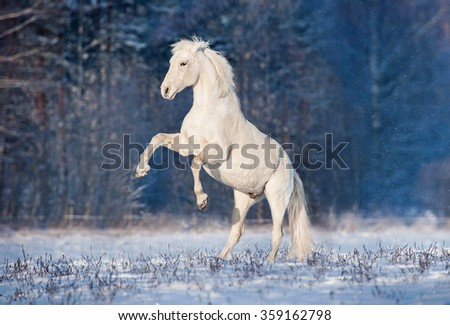 Beautiful white andalusian stallion rearing up in winter - stock photo