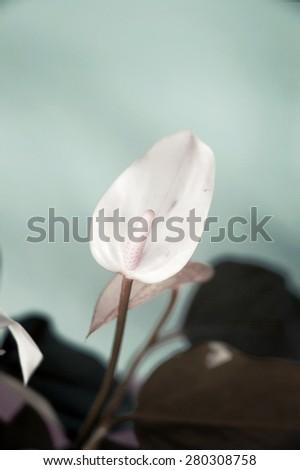 beautiful white anthurium flower in pastel shade - stock photo