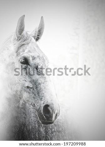 beautiful white arabian horse stallion - stock photo