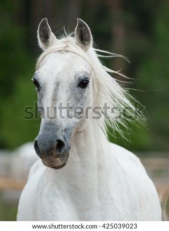 beautiful white arabian stallion fron view