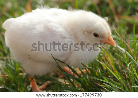 Beautiful white baby chick on grass