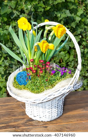 Beautiful white Basket with spring flowers, like Jonquils - stock photo
