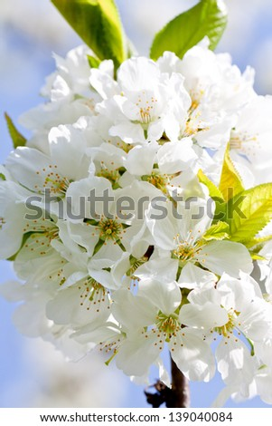 beautiful white blossom in spring easter outdoor apple tree