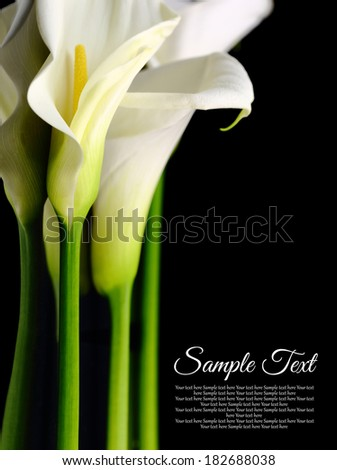 Beautiful white Calla lilies with reflection on black background - stock photo