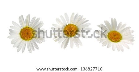 beautiful white camomiles isolated - stock photo