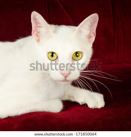 Beautiful White Cat Kitten posing on Red Velvet Couch - stock photo