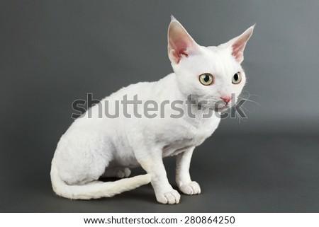 Beautiful white cat on gray background - stock photo