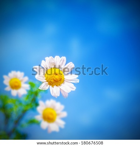 Beautiful white chamomile flowers over blue sky background, bloom of daisy on the field, blossom gerbera on the meadow, spring season, sunny day, floral border - stock photo