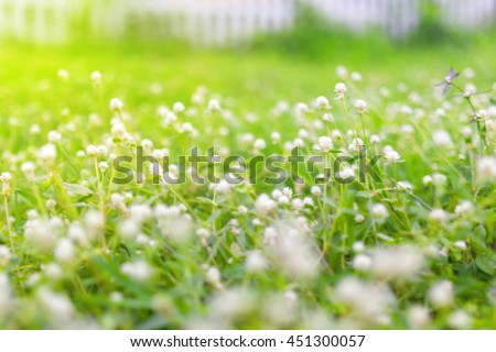 Beautiful white clover flowers in spring and green grass. - (Shallow of focus / Soft focus)