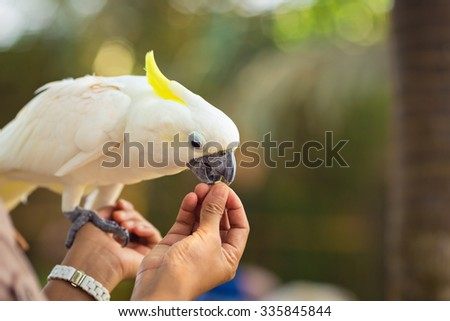 Beautiful white Cockatoo is eating from hands - stock photo