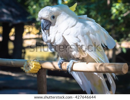 Beautiful white Cockatoo, Sulphur-crested Cockatoo (Cacatua galerita), standing on a branch. - stock photo
