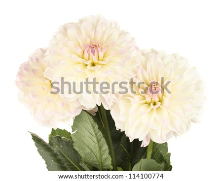 Beautiful white dahlias on white background close-up