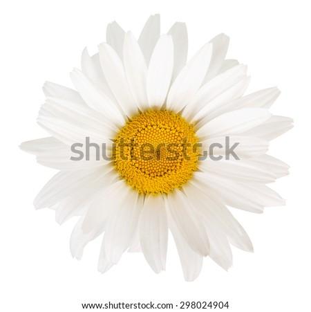 Beautiful white daisies - stock photo