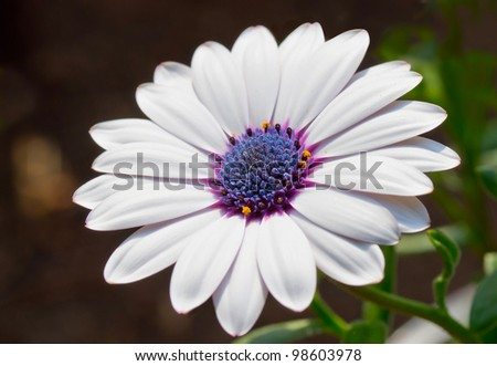 beautiful white daisy - stock photo