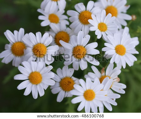 Beautiful white daisy flowers
