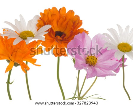 beautiful white daisy flowers, bright pink and marigold kosmeya isolated on a white background - stock photo