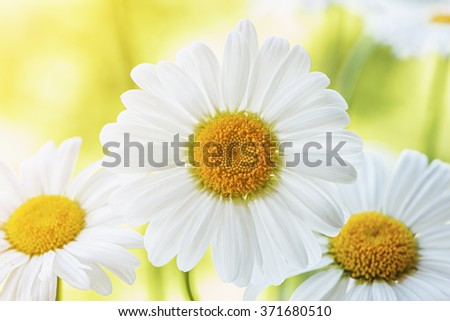 Beautiful white daisy flowers on the meadow at sunset. - stock photo