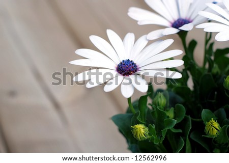 Beautiful white daisy plant on a backyard deck waiting to be transplanted