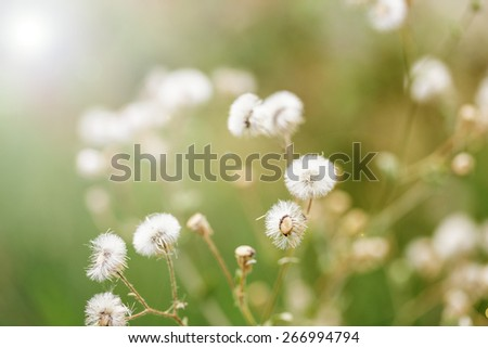 Beautiful white dandelion flowers close-up. close up of Dandelion with abstract color and shallow focus. - stock photo