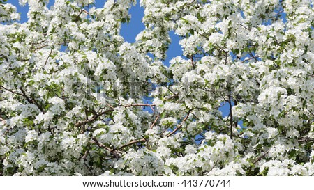 beautiful white delicate flowers on the branches of apple trees appeared in early spring against a bright blue sky - stock photo