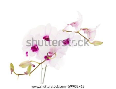 beautiful white; dendrobium orchid with dark purple centers; isolated on white background;