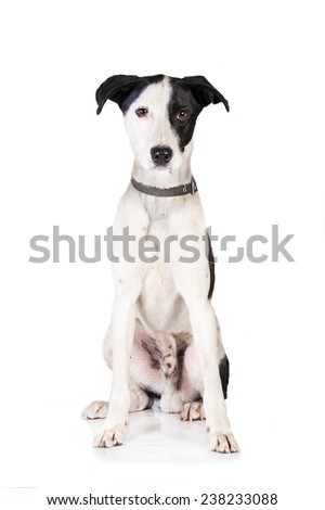 Beautiful white dog with black ears isolated on white
