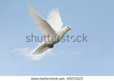 Beautiful white dove in flight - stock photo