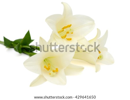 beautiful white easter lily flowers isolated on white background