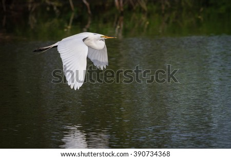 Beautiful white egret carries nesting material to rookery - stock photo