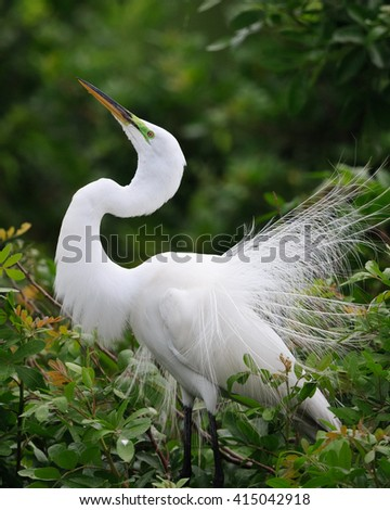 beautiful white egret in spring breeding plumage - stock photo
