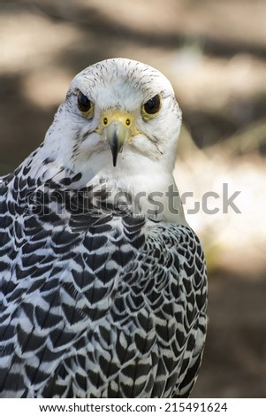 beautiful white falcon with black and gray plumage - stock photo