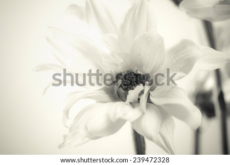 Beautiful white flower close up - soft black and white image. - stock photo