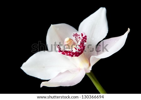 Beautiful White flower of orchid on isolated black background - stock photo