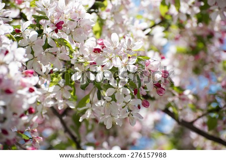 Beautiful white flowers from an apple tree, Closeup on one branch. Shallow dof - stock photo