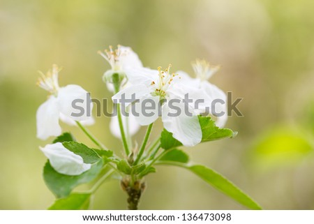 beautiful white flowers in nature. macro