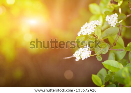 beautiful white flowers in spring - stock photo