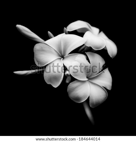 Beautiful white flowers Plumeria (Frangipani) isolated on black background - stock photo