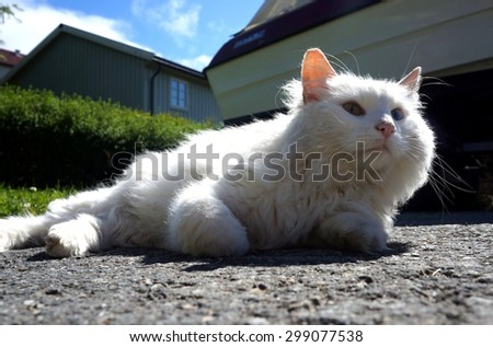 Beautiful white forest cat - stock photo