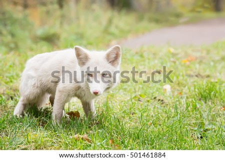 Beautiful white Fox is in the grass