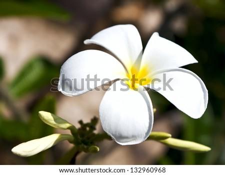 beautiful white frangipani flowers on dark background - stock photo